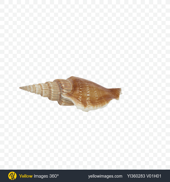 Download Long Glossy Shell Transparent PNG on YELLOW Images
