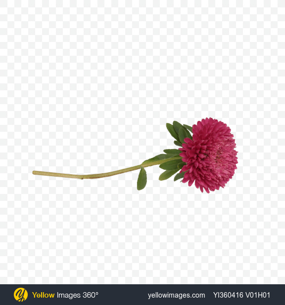 Download Pink Aster Flower Transparent PNG on YELLOW Images