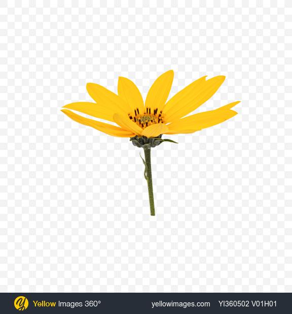 Download Jerusalem Artichoke Flower Transparent PNG on YELLOW Images