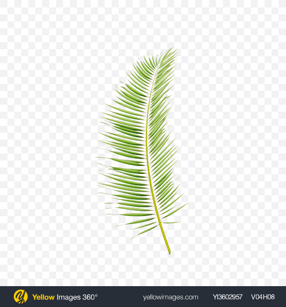 Download Areca Tree Leaf Transparent PNG on YELLOW Images