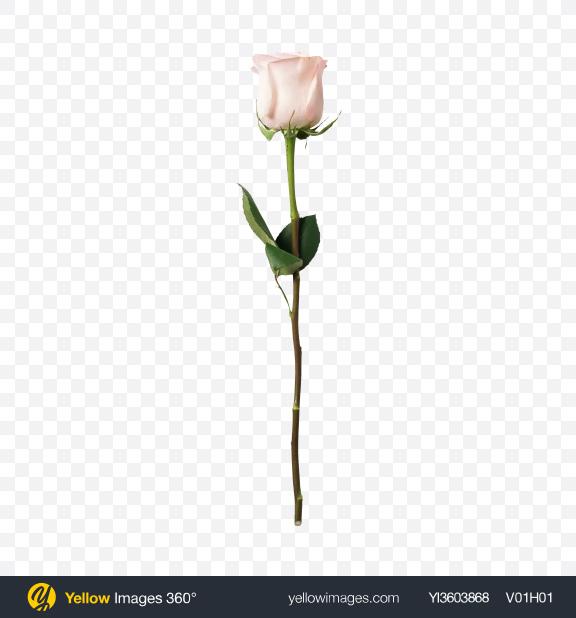 Download Soft Pink Rose Transparent PNG on YELLOW Images