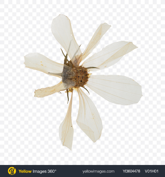 Download Dried Camomile Flower Transparent PNG on YELLOW Images