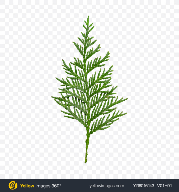 Download Thuja Branch Transparent PNG on YELLOW Images