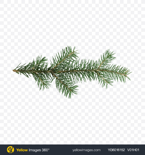 Download Pine Branch Transparent PNG on YELLOW Images