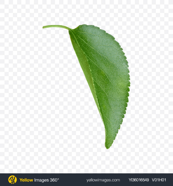 Download Apple Tree Leaf Transparent PNG on YELLOW Images