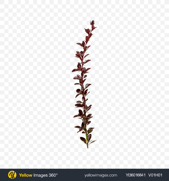 Download Barberry Tree Branch Transparent PNG on YELLOW Images
