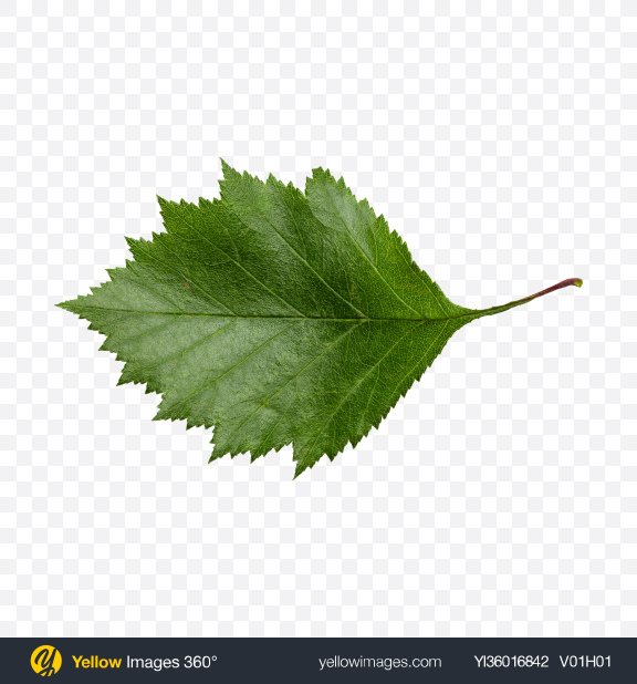 Download Birch Green Leaf Transparent PNG on YELLOW Images