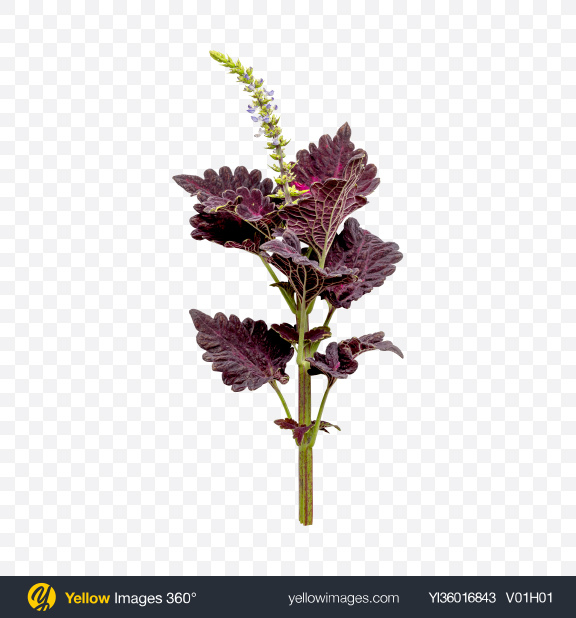 Download Coleus Branch Transparent PNG on YELLOW Images