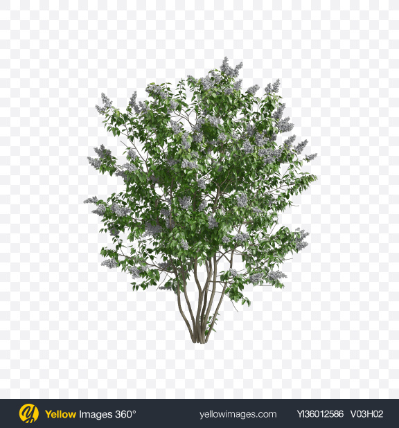 Download Lilac Tree Transparent PNG on YELLOW Images