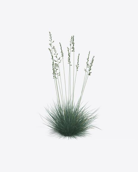 Fescue Plant